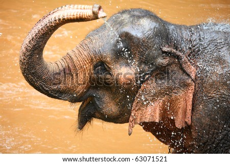 Cute Asian elephant splashing with water while taking a bath in Chiang Mai. Thailand.