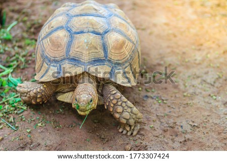 Cute Asian forest tortoise (Manouria emys), also known commonly as the Asian brown tortoise, is a species of tortoise in the family Testudinidae.