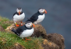 Cute Atlantic Puffin birds on the cliff on a rainy day
