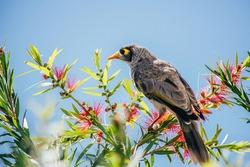 Cute Australian bird Noisy Miner on the Bottlebrush Tree with red flowers. Sunshine Coast, Queensland.