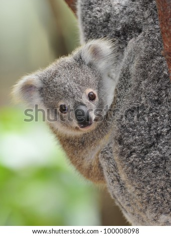 cute australian koala bear baby or joey , sydney, new south wales, australia grey bear