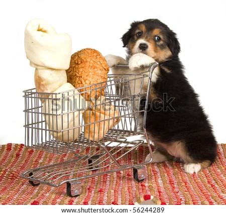 Cute Australian Shepherd puppy pushing shopping cart with large bones