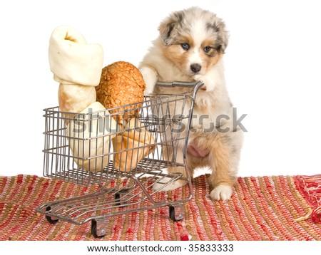 cute australian shepherd puppy...