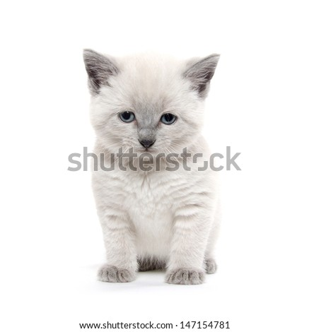 Cute baby American shorthair kitten on white background