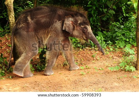 Cute baby asian elephant taking a stroll through the jungle