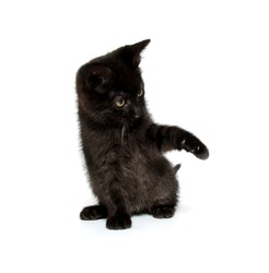 Cute baby black cat playing on white background
