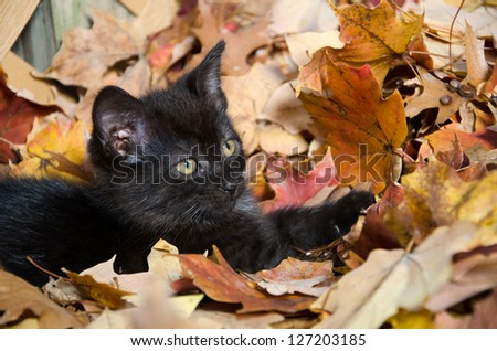 Cute baby black kitten playing in fall leaves