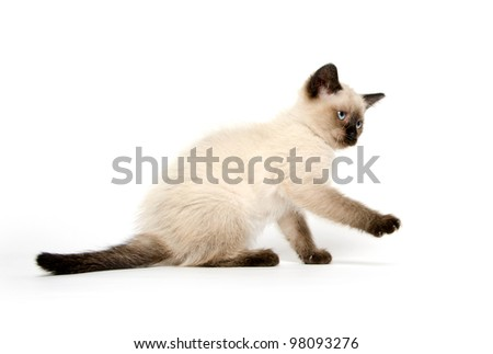 Cute baby cat with markings similar to a siamese on white background