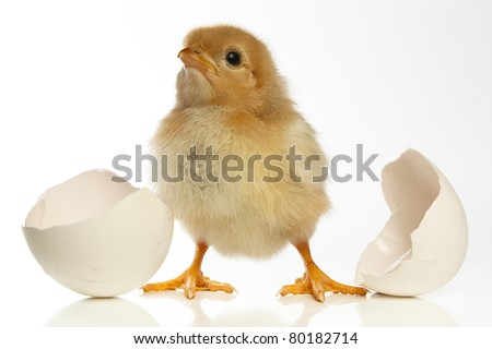 Cute baby chicken and an egg shll against a white background