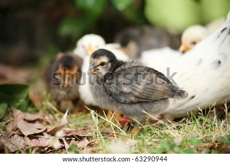 Cute baby chicken up close. Mother and siblings in the background. Shallow depth of field