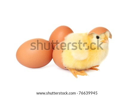 Cute baby chicken with eggs