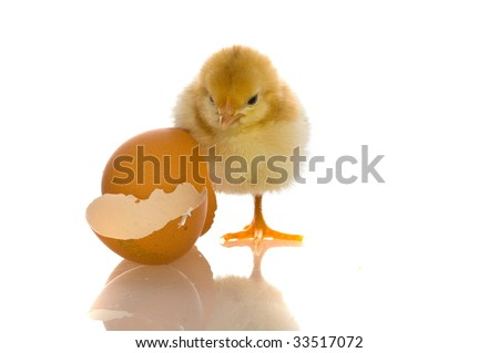 baby chicks clipart. stock photo : cute aby chicks