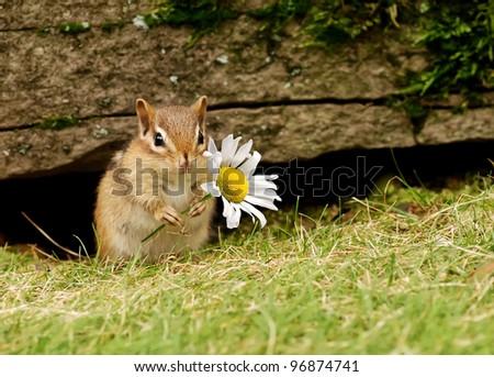 Cute baby chipmunk holding a daisy