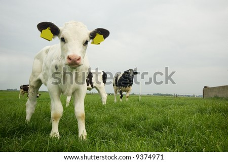 cute baby cow in summer