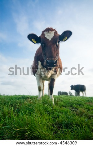 cute baby cow on farmland