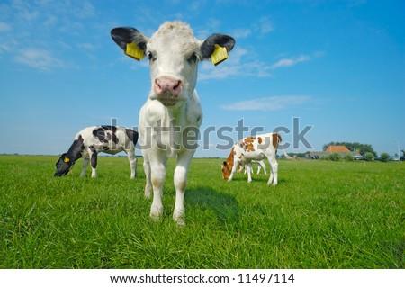 cute baby cow on farmland in summer