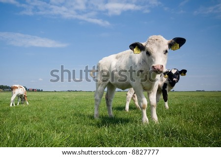 cute baby cows in summer