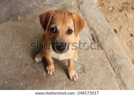 Cute baby dog with sad eyes in Sri Lanka #248573017