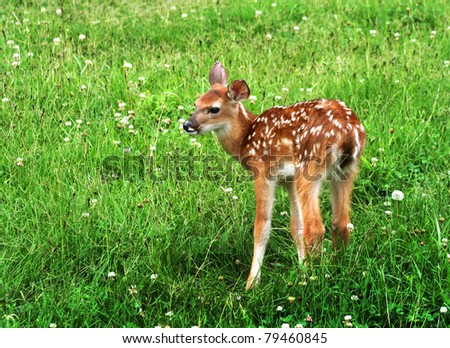 cute baby fawn deer with white spots is standing in a thick green field of clover