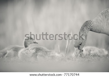 Cute baby Goose chicks in black and white