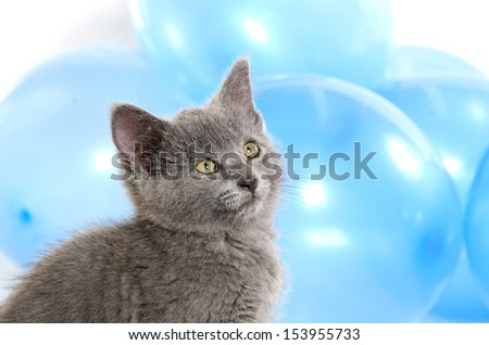 Cute baby gray American shorthair kitten with blue balloon background