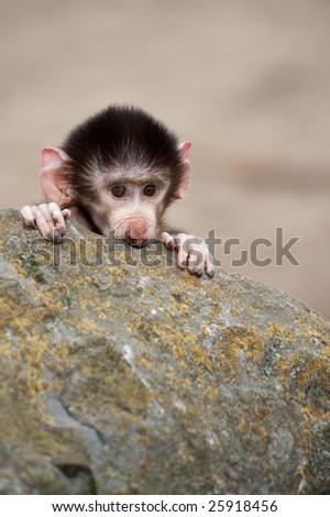 Cute baby Hamadryas Baboon (Papio hamadryas)