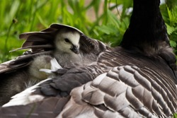 cute baby hiding under the wing of the mother, barnacle goose, munich, germany