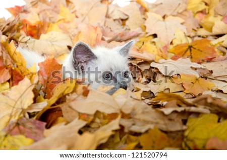 Cute baby kitten hiding in a pile of fall leaves