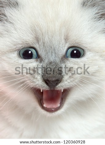 Cute baby kitten with its mouth open and crying