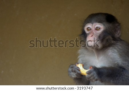 cute baby monkey eating some fruit