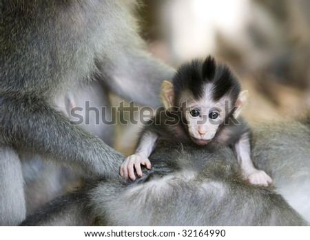 cute baby monkey ubud Bali Indonesia staring while held by mother