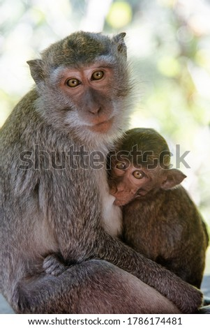 Cute baby monkey with her mum looking at the camera - Two monkeys at the monkey park in Bali - Balinese monkeys looking at the camera - Baby monkey hug her mum in Ubud, Bali