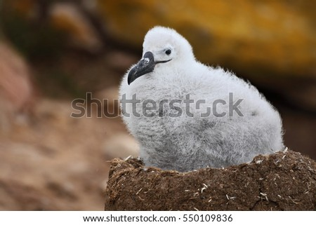 Cute baby of Black-browed albatross, Thalassarche melanophris, sitting on clay nest on the Falkland Islands.  Wildlife scene in the nature. #550109836
