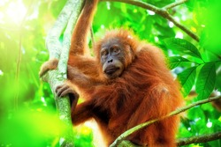 Cute baby orangutan hanging on branch and looking around against thick green foliage and shining sun on background. Little ape resting on tree in exotic rainforest. Sumatra, Indonesia