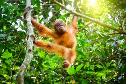 Cute baby orangutan hanging on branch and looking around against thick green foliage on background. Little ape resting on tree in exotic rainforest. Animals in wild. Sumatra, Indonesia