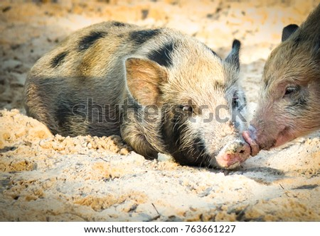 Cute baby pig or wild boar close up lovely on sand and beautiful light of sunshine morning. A pig is any of the animals in the genus Sus. Domestic pig is among the most populous large mammals in world #763661227