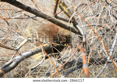 Cute baby porcupine in tree