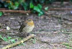 Cute baby robin bird, young fledgling chick, stands on twig on ground beside daisies. European
