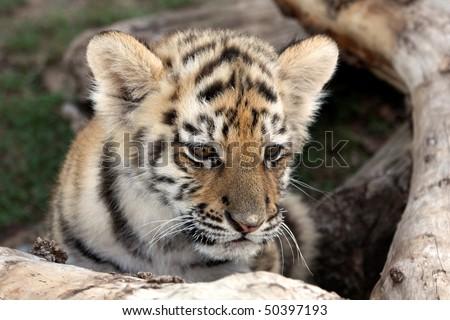 Cute baby siberian tiger hiding behind a tree log