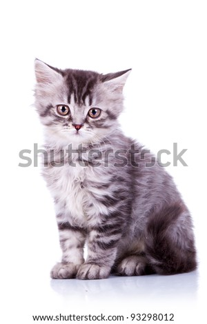 cute baby silver tabby cat, sitting on white background