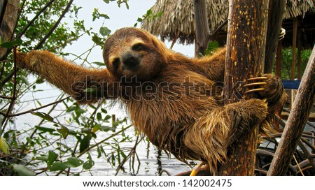 Cute baby sloth on tree trunk, Costa Rica
