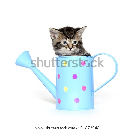 Cute baby tabby American shorthair kitten sitting inside of a watering can on white background
