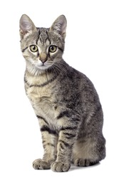 Cute baby tabby cat on white background