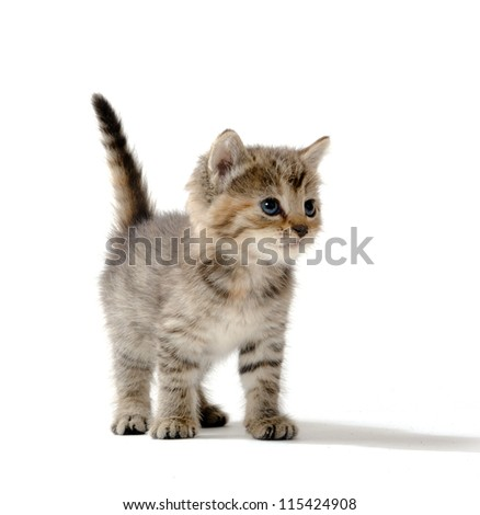 cute baby tabby kitten standing on white background - stock photo