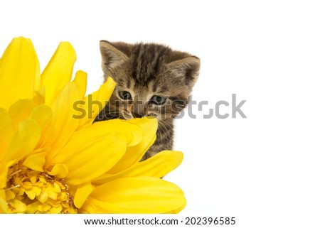 Cute baby tabby kitten with yellow flowers on white background ez cute baby tabby kitten with yellow flowers on white background mightylinksfo
