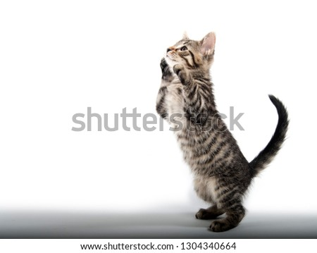 Cute baby taby kitten playing isolated on white background