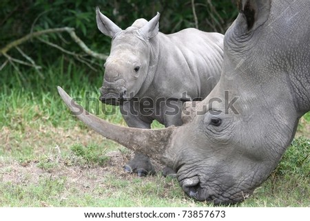 Cute baby White Rhino standing next to it's mother with large horn