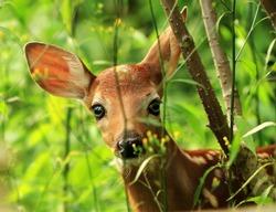 Cute baby white-tailed deer (Odocoileus virginianus), Ontario, Canada
