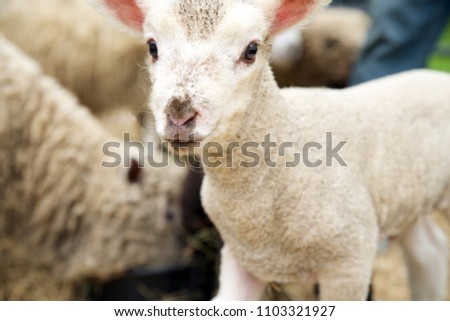 Cute babydoll lamb looking at the camera, curious.  In a pen with other ewes.