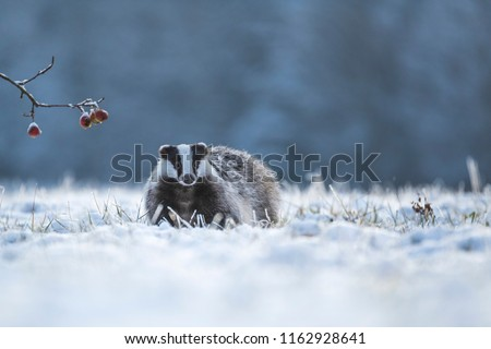 cute badger in snow, badger with apples, attractive winter scene with badger